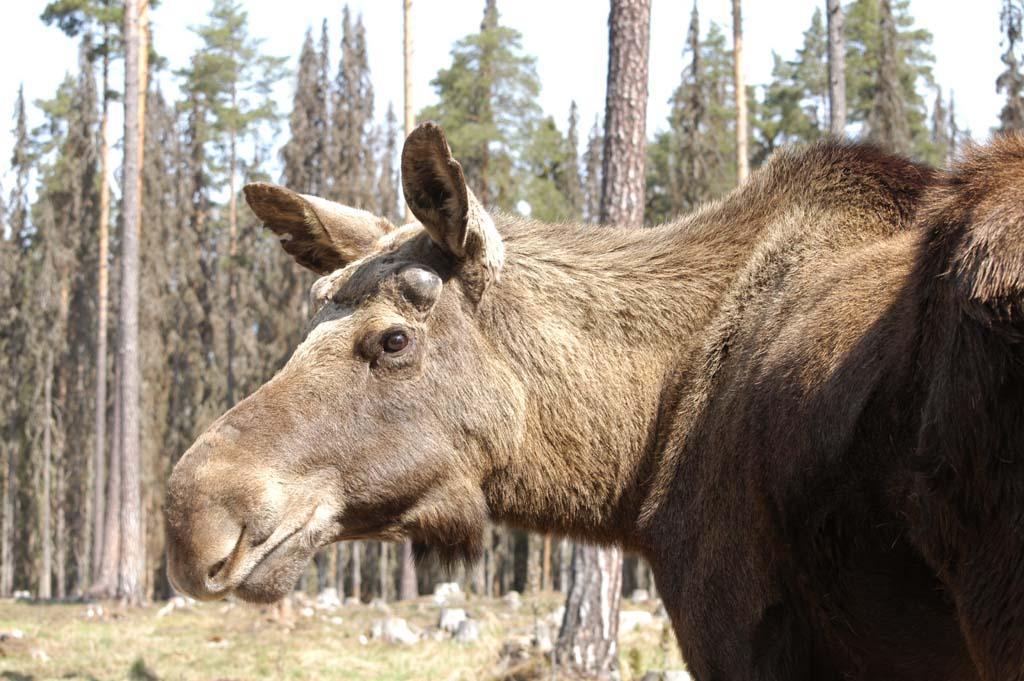 wildlife varmland zweden